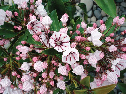 Kalmia latifolia 'Peppermint'from Plantlust.com