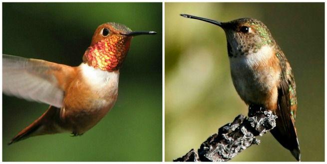 12 best Pacific Northwest Birds images on Pinterest ...