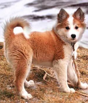 icelandic sheepdog - Google Search