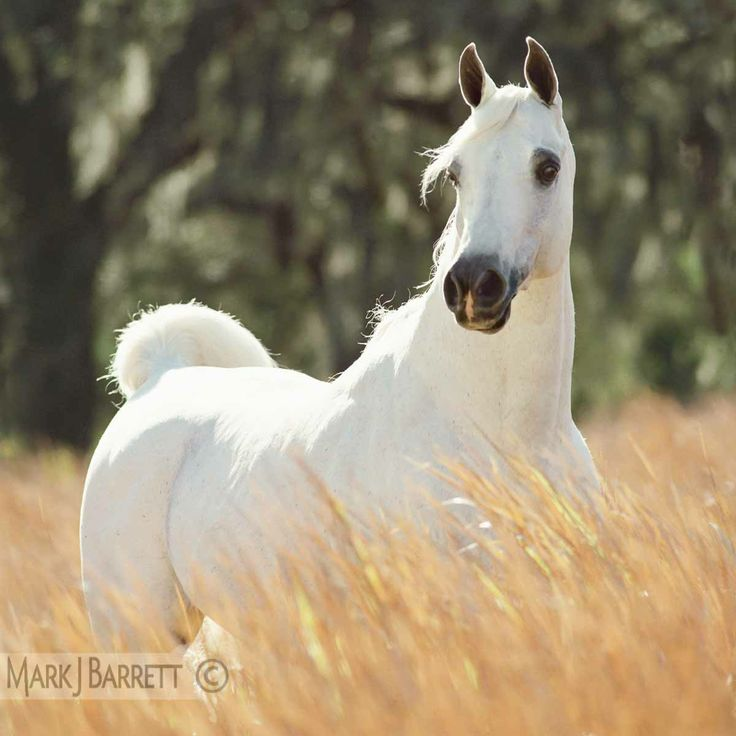 white Arabian horse stallion  standing in tall grass.