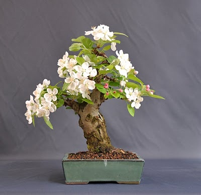 Bonsai Apple Tree -- So, I think this is darling, but I sort of feel like the poor apple tree cannot reach its full potential... :-/