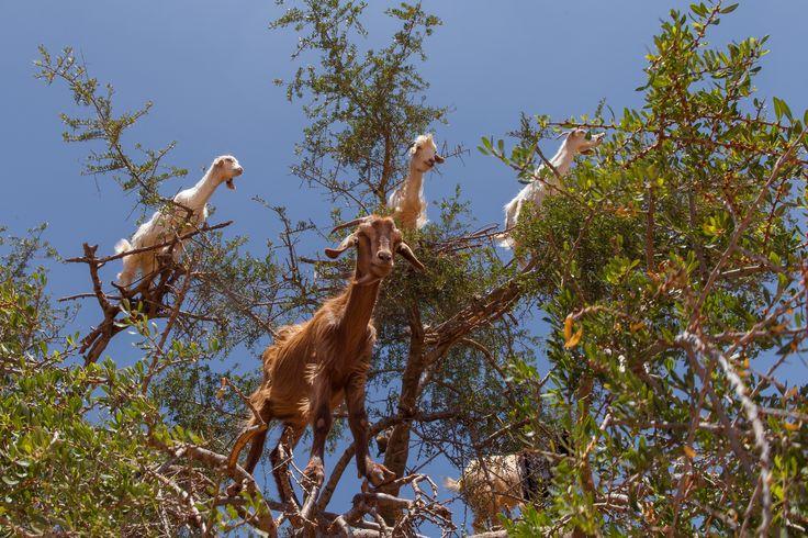 https://flic.kr/p/eUgFX6 | Essaouira - Chèvres dans les arganiers - Maroc / Goats in Argan - Morocco - Photo Image Photography - Huile d'Argan Argan oil www.supercar-roadtrip.fr |  www.supercar-roadtrip.fr  L'huile d'argane ou d'argan est tirée de l'arganier, arbre endémique du Maroc et de l'ouest de l'Algérie, présent essentiellement au sud-ouest du Maroc, entre Agadir, Essaouira et Taroudant, et autour de Tindouf en Algérie. Elle est très utilisée dans la cuisine traditionnelle de cette…