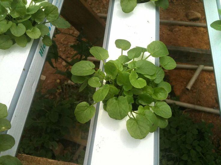 cmo cultivar sin suelo o sistema de cultivo hidropnico casero