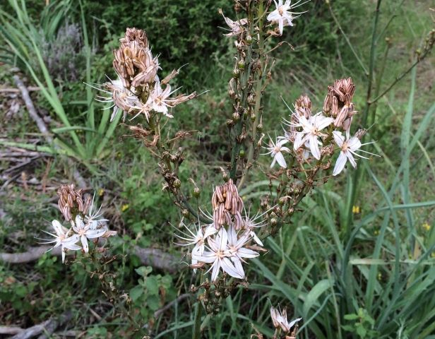 Zambakgiller familyasından 1.5 m`ye kadar boylanabilen, yumrulu bir bitkidir. Yaprakları kılıç şeklinde, 35-45cm boy, 3cm eninde olup; nisan-mayıs aylarında çiçeklenir. Çiçekler beyaz ve 6 petallidir. 7mm büyüklülüğünde bezelye şekilli yeşil meyveleri 6 tohumludur. Bütün yıl boyunca yeşil; özellikle kuru, besince fakir, kumlu, kültüre edilmeyen topraklarda yetişir. Afrika, Arap ülkeleri, Mısır, Türkiye ve Avrupa`nın bazı kesimlerinde yayılma gösteren çok yıllık bir bitkidir. Kendine has bir…