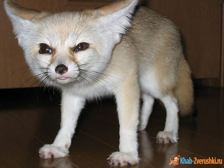 лиса с длинными ушами порода: 9 тыс изображений найдено в Яндекс.Картинках