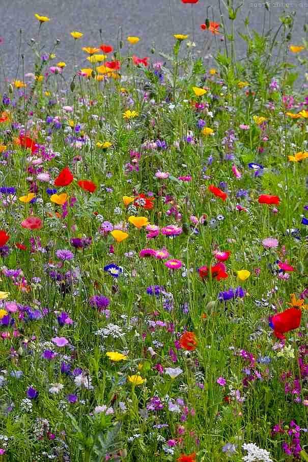 Magerrasen Trockenrasen Wiesenblumen Samenmischung In 2020 Wiesenblumen Wildblumen Wildblumenwiese