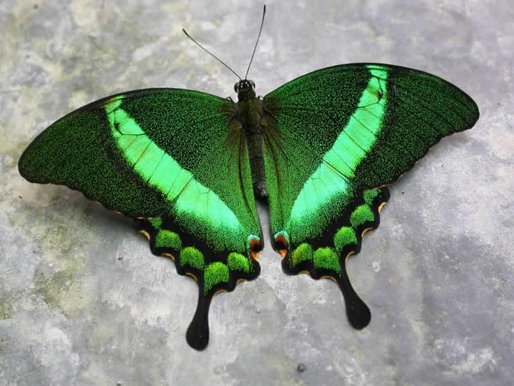 Papilio palinurus, common name Emerald Swallowtail, Emerald Peacock, or Green-banded Peacock, is a butterfly of the genus Papilio belonging to the Papilionidae family.