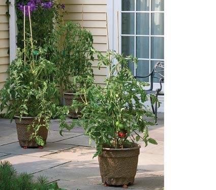 $79 Patio Tomato Collection  great alternative to association preventing us from having veggie gardens!