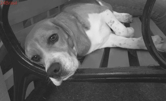 Beagle que passou a vida em laboratório desfruta do amor e da liberdade