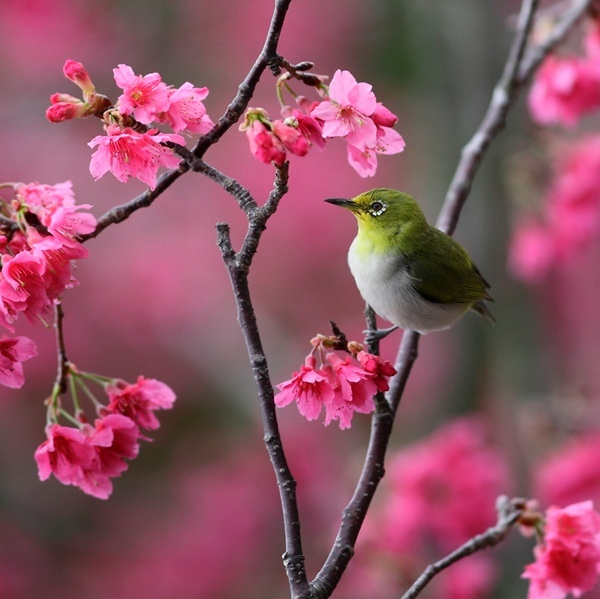Spring Photos: amazing pictures of flowers: Cherries Blossoms, Pink Flowers, Bright Pink, Trees, White Eye, Beautiful Birds, Colors Birds, Apples Blossoms, Animal