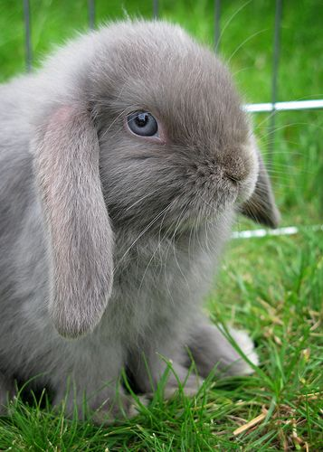 Freddo the 6-wk old bunny - ©/cc JlHopgood www.flickr.com/photos/jlhopgood/5547656234/