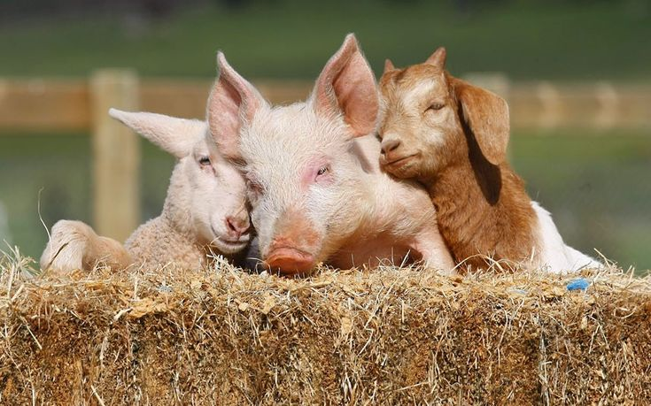 Lizzie the lamb, Portia the piglet and Boots the goat snuggle up