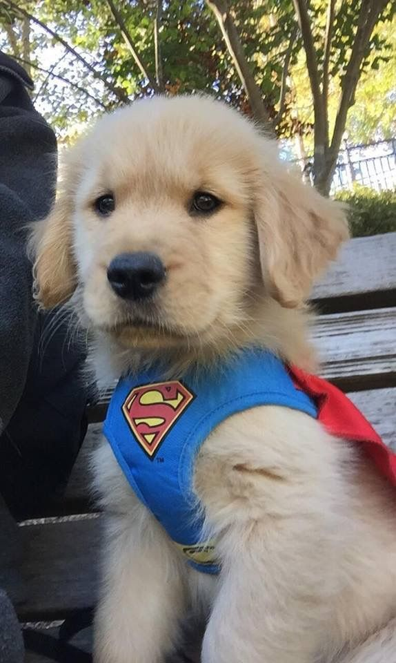 Golden Superman ❤ adorable                                                                                                                                                                                 More