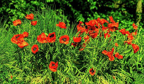Poppies flowerbed by Olga Olay #OlgaOlayFineArtPhotography #ArtForHome #FineArtPrints #Flower