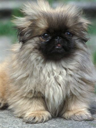 Pekinese puppy, having an adorably bad hair day.