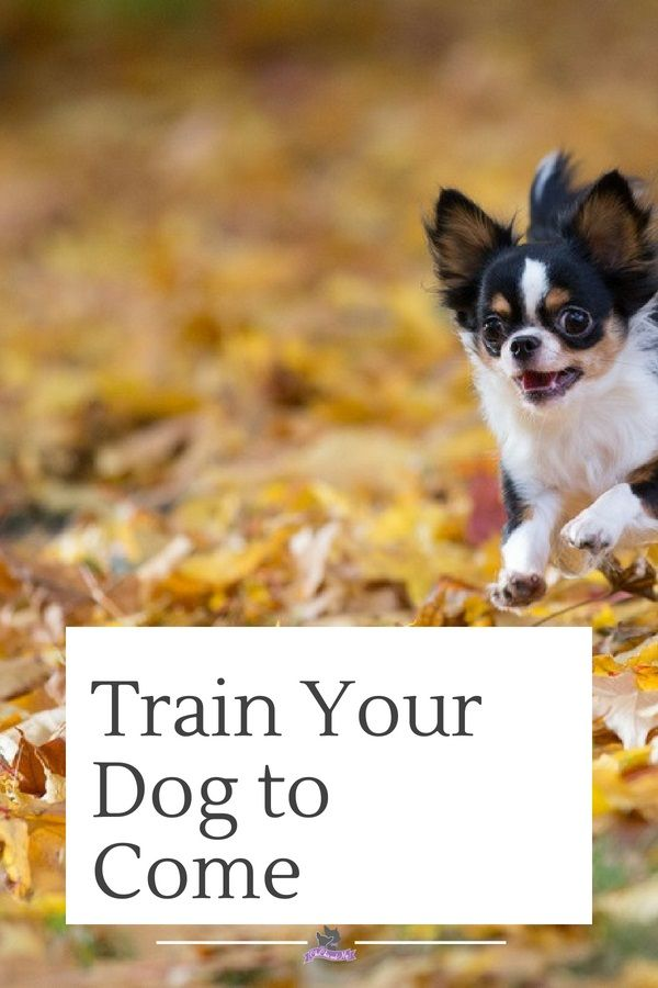 Training A Chihuahua Part 10 How To Teach Your Dog To Come