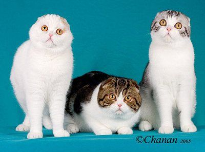 Scottish Fold kittens are born with straight ears. At about three to four weeks of age, their ears fold…or they don't! It is usually around eleven to twelve weeks of age that the breeder can determine the quality (pet, breeder or show). Presently, only folded ear cats of Scottish lineage are permitted in the show ring, and naturally, every breeder wants to produce show cats. The straight ear progeny of Scottish Folds, nevertheless, are invaluable to the breeding program.