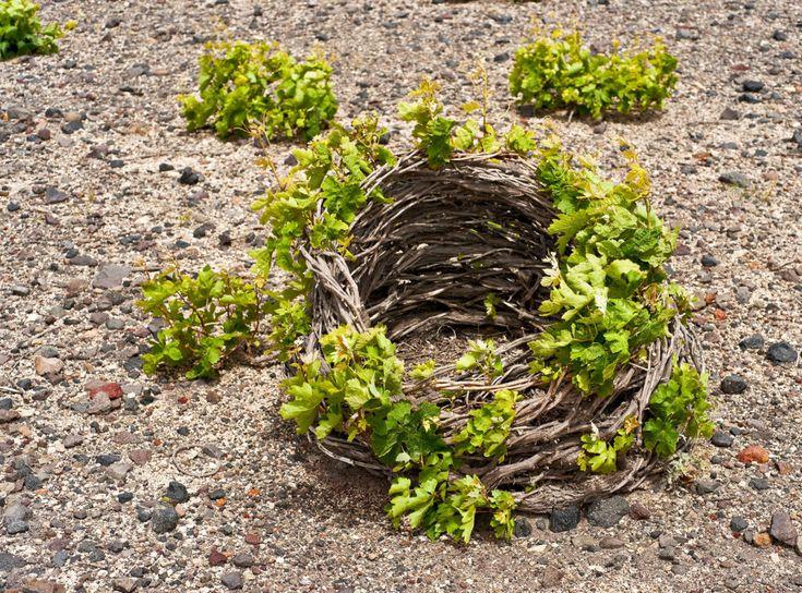 Dracaena Wines - Assyrtiko - Greek vines trained in a crown shape