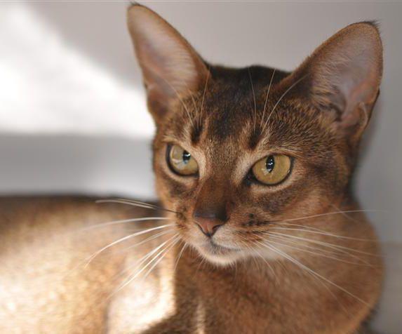 Abyssinian Cat Breeders - Abyssinian Kittens for sale
