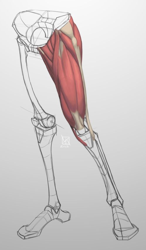 M2:: Simplified geometric pelvis and leg bones with one femur covered by the adductors, quadriceps, and gluteal group