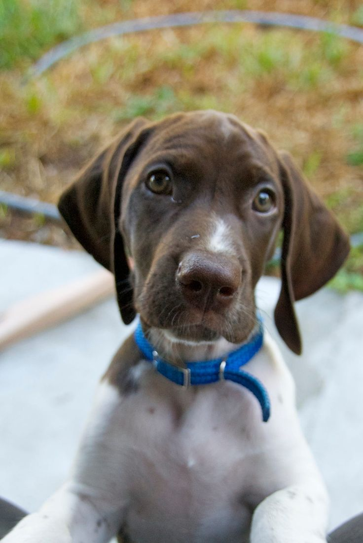 gsp bailey pointer puppy by Beth Pearson