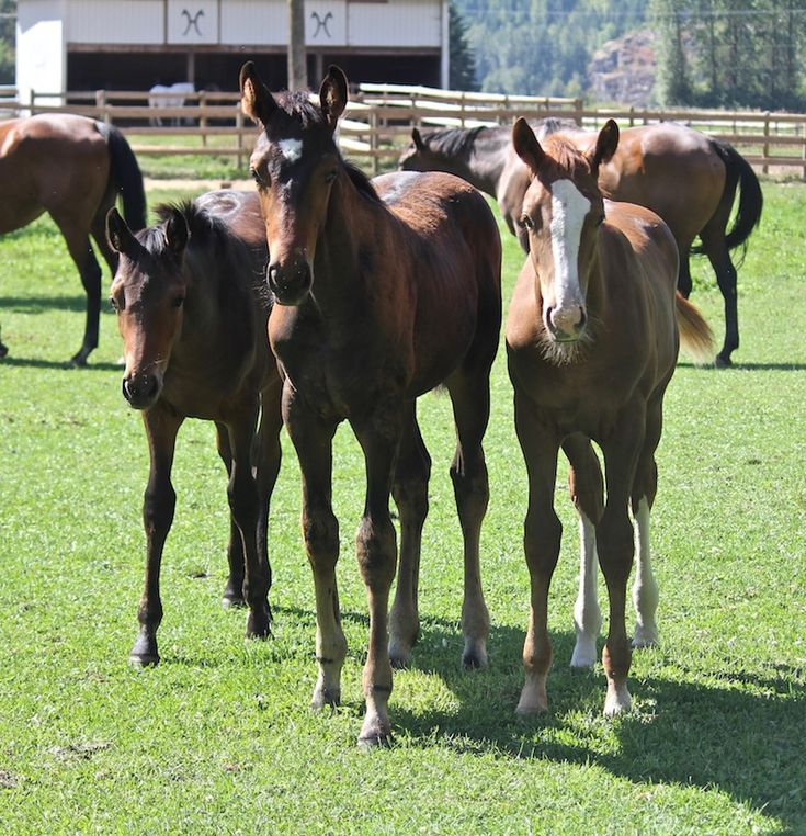 Hanoverian Foals from Dreamcatcher Meadows. Class of 2017. From left to right: Limitless DMV, Dreamchaser DMV, and Whittaker DMV.     Find your dream horse at www.dreamcatchermeadows.com  #equestrian #warmblood #horse