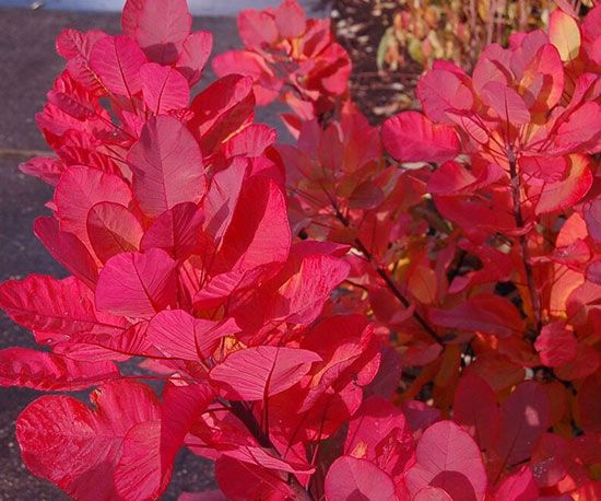 'Old Fashioned' smokebush   Plant Name:Cotinus coggygria 'Old Fashioned'  Growing Conditions:full sun  Size:6 feet tall