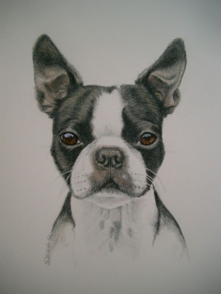 boston terrier drawings 31 best color pencil dog portraits images on pinterest 928