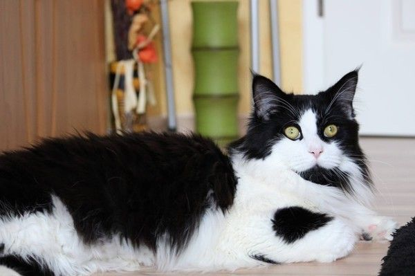 Pin On Cats Breeds