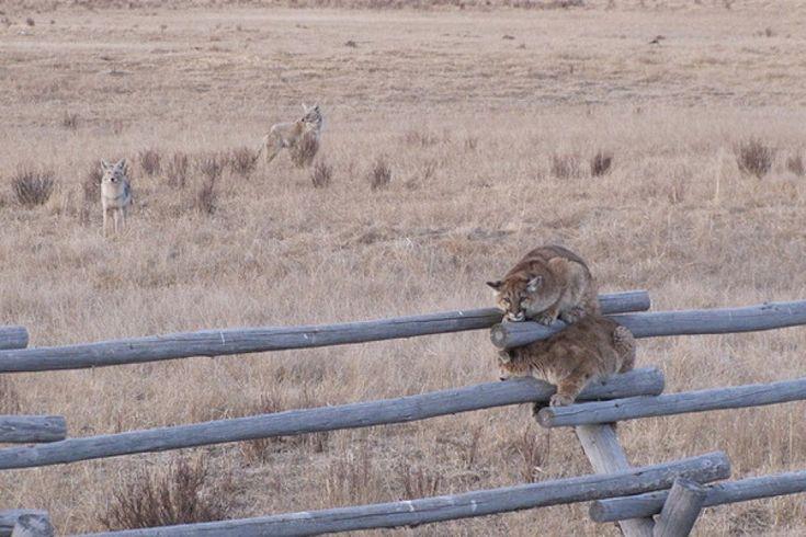 Intrappolati e assediati da cinque coyote, quasi senza via di scampo: due giovani leoni di montagna nel National Elk Refuge di Jackson, in Wyoming, se la sono vista davvero brutta. Costretti per diverse ore a rimanere in bilico su una staccionata del parco. Uno alla volta hanno alla fine azzardato la fuga, inseguiti dai cani selvatici. I due felini l'hanno però scampata. Sono stati visti domenica ancora vivi e in buone condizioni