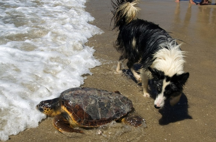 A dog looks at a sea turtle returning to the Mediterranean Sea after it was set free by the Israeli Sea Turtle Rescue Centre in the coastal town of Palmachim, south of Tel Aviv, on June 7, 2012.