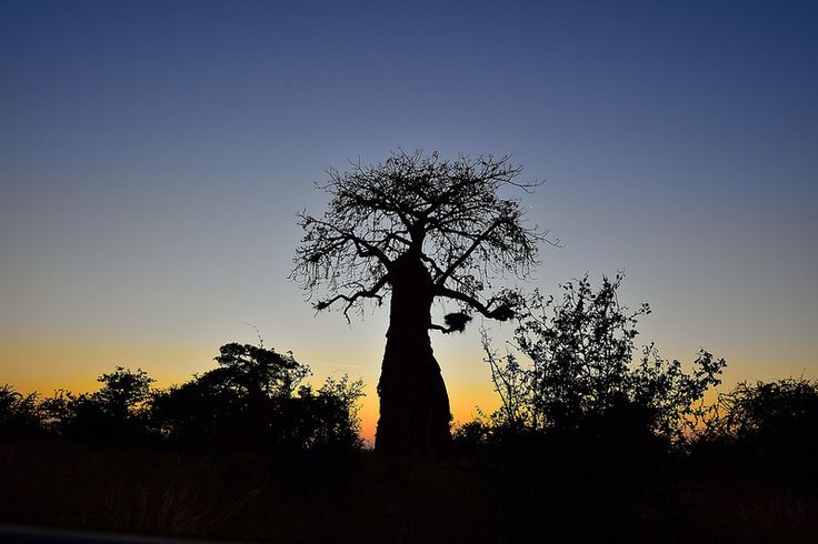 Baobab, Mapungubwe, Limpopo, South Africa | by South African Tourism