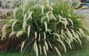Chionochloa flavicans - Taupo Native Plant Nursery
