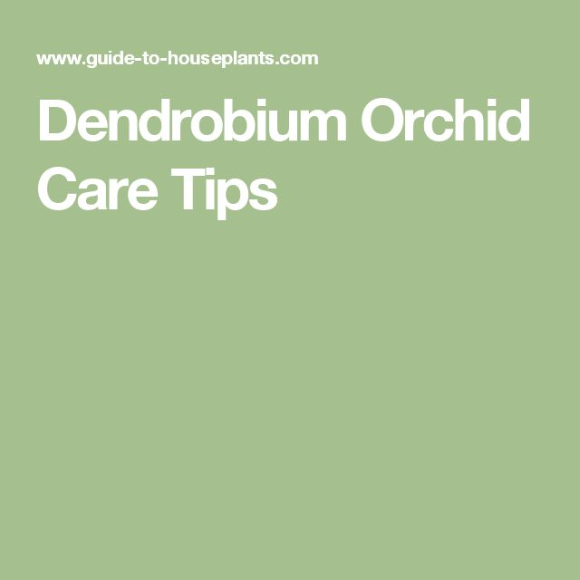 Dendrobium Orchid Care Tips