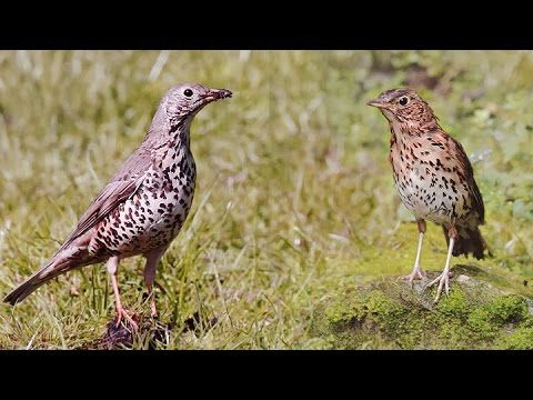 Know your thrushes - Song and Mistle - YouTube