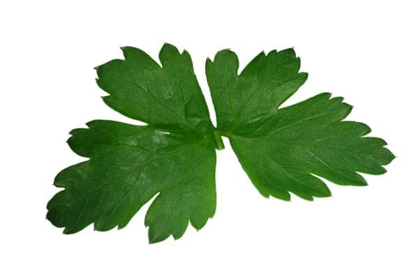 Medicinal Plants You Can Give As Gifts – Parsley