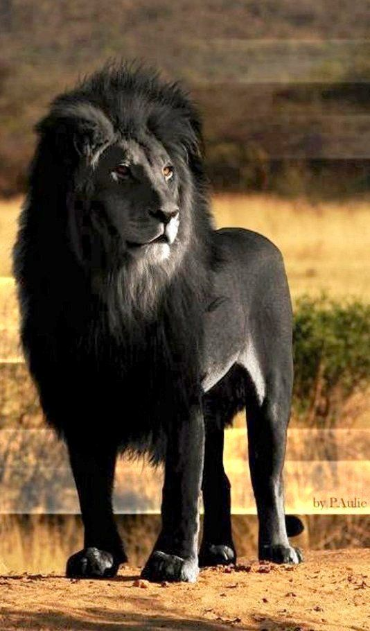 Black Lion.. Absolutely stunning, but scary as shit!!! Its bad enough to have a lion stalk you. But to have one that blends into the night?!?!? Game Over!!! Lbvs smh lol