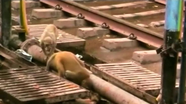 A monkey saves the life of another monkey who fell unconscious after being shocked by electrical wiring on a rail track in India's northern city of Kanpur. Vanessa Johnston reports.