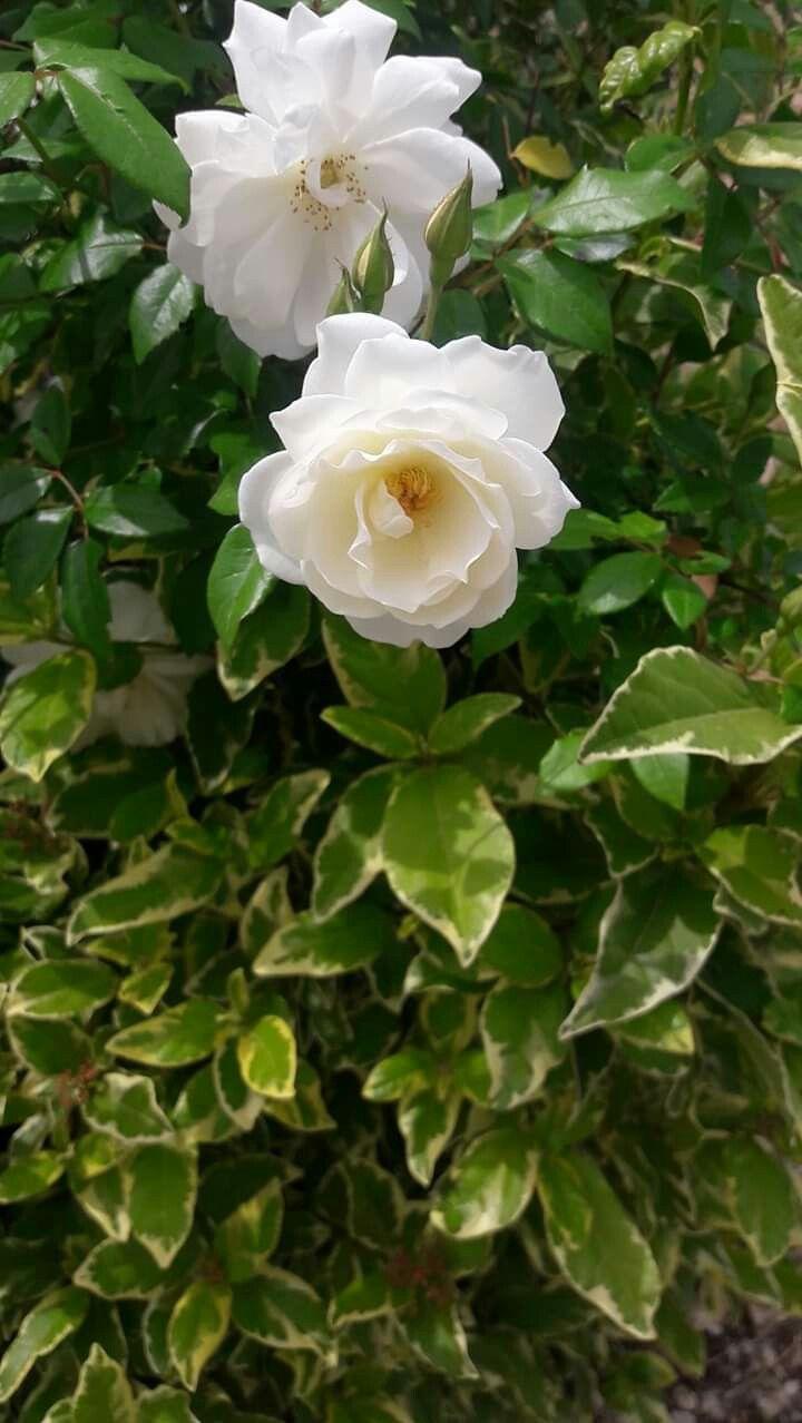 Pin By نور القرآن On الساحل السوري Syrian Coast Plants Flowers Rose
