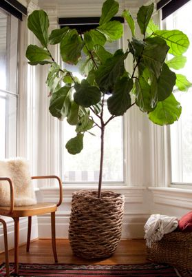 Ficus lyrata, the fiddle leaf fig, offers wavy green leaves shaped somewhat like a fiddle. It is also among the best plants for cleaning indoor air