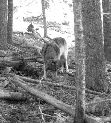 This Gray Wolf was spotted in an FSC-certified forest managed by our client, Collins Co.