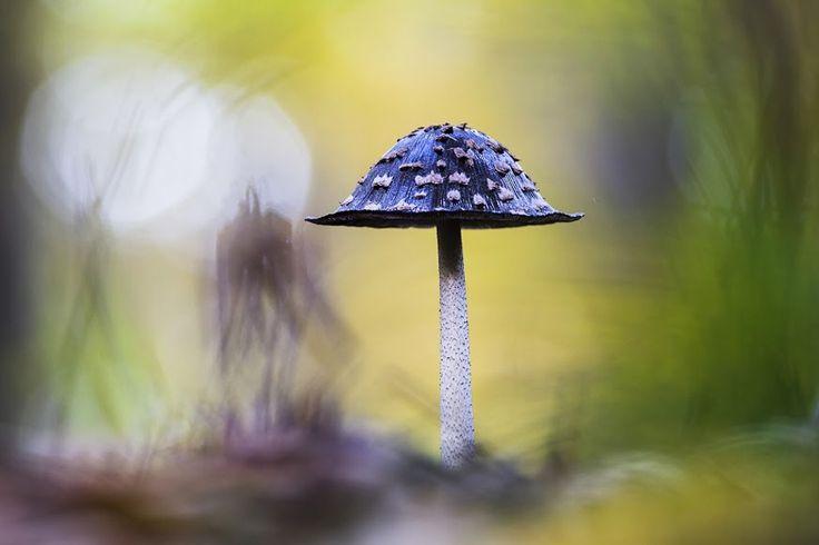 Növények és gombák kategória, harmadik díj: Konkoly Attila: Harkály tintagomba.