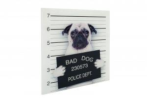 Interior :: Obraz dekoracyjny szklany Bad Dog Mops 40x40cm (Z35984)