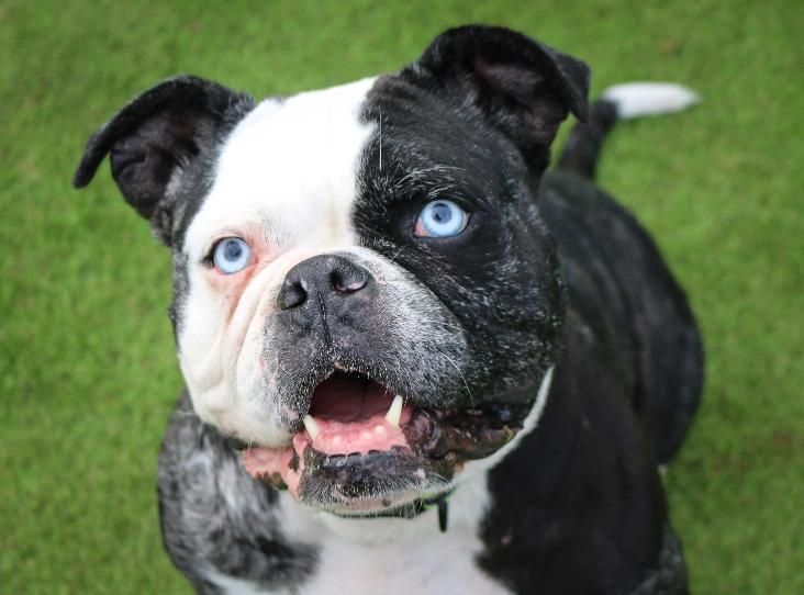 Pin By Rescue Pets On Dogs Bulldogs Mastiffs In Rescue Pets