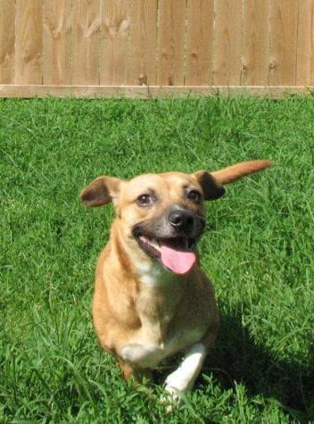 Name: mazda.  Breed: beagle/pug mix.  Place: Edwardsville, IL. Age: 1-1/2 years old. Adoption fee: $225.00. Sex: male. He is a small dog waiting for the right family to adopt him!!!!!  Website name: http://www.hoperescues.com