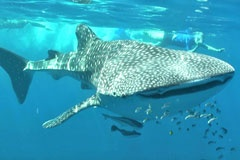 "The ""other"" barrier reef lies just meters of the coast of western Australia and is home to Whale Sharks, Manta Rays and Humpback Whales."