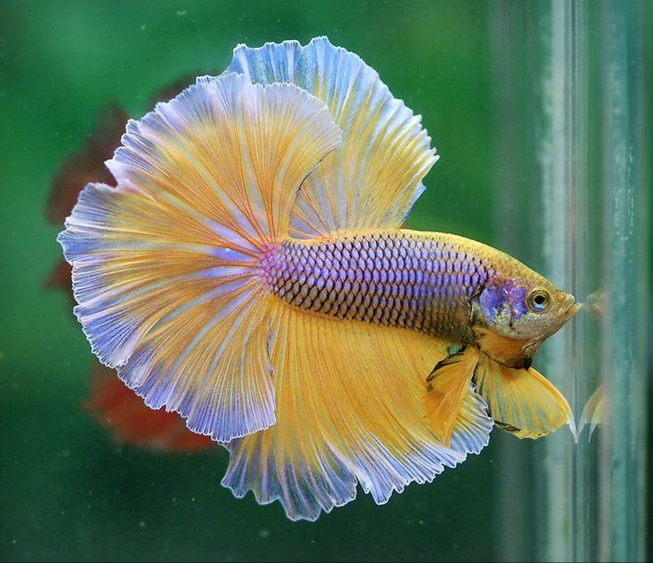 208 best betta fish images on pinterest fish tanks fish for Betta fish care sheet