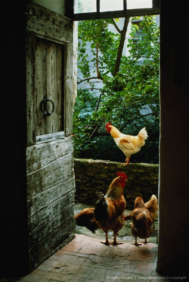 Chickens in rustic doorway.