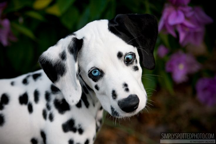 How Big Do Dalmation Dogs Get