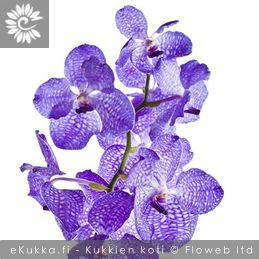 Vanda, Vanda -orkidea